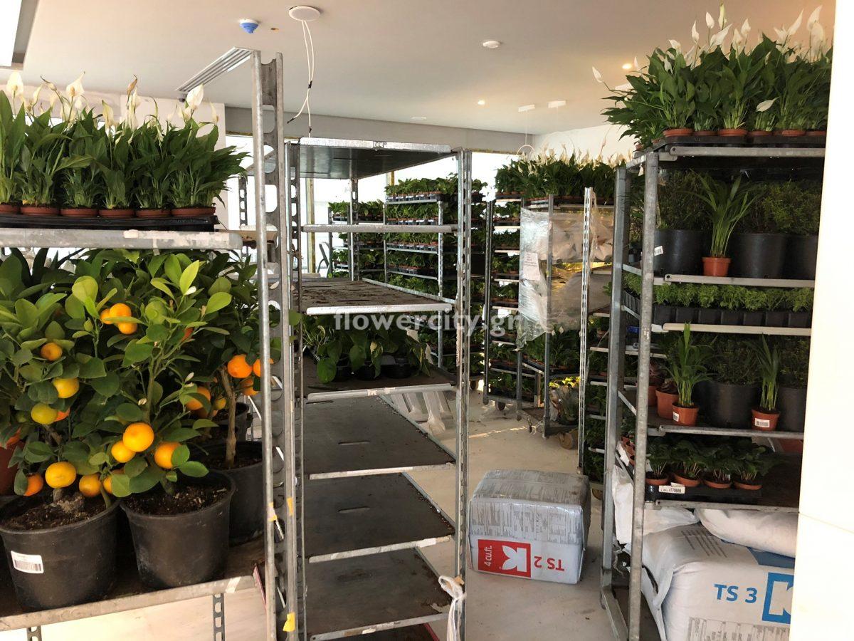 IKOS ARIA ζωντανά φυτά